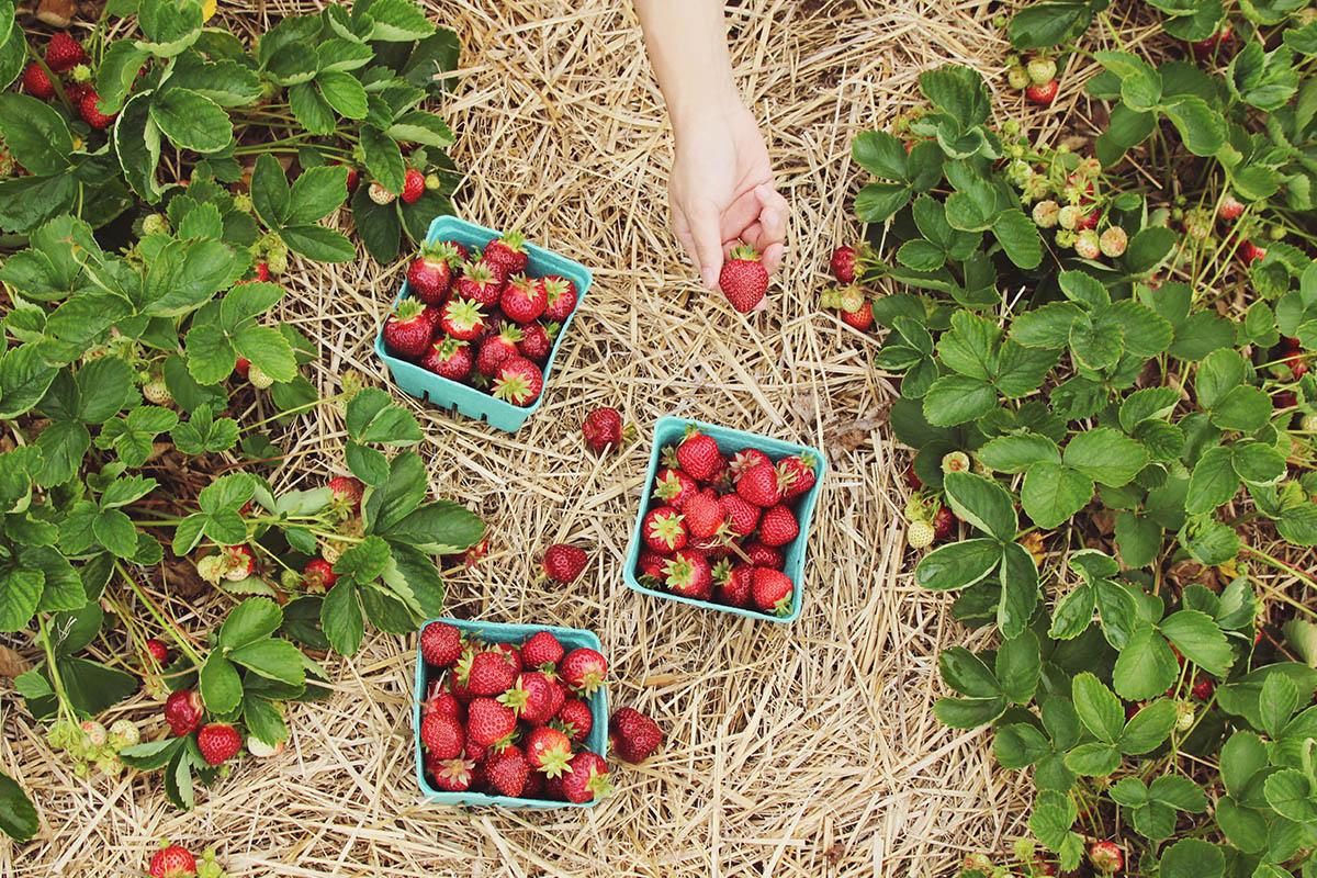 Agricoltura biologica e OGM